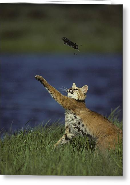 Bobcat Toys With Vole Greeting Card by Michael S. Quinton