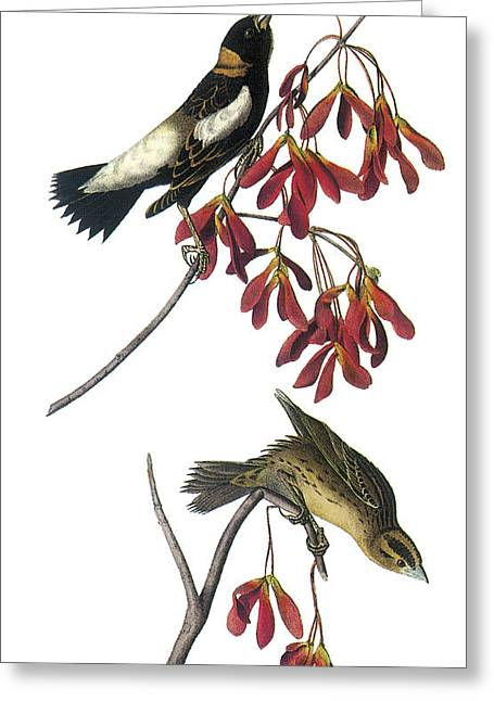 Bobolink Greeting Card by John James Audubon