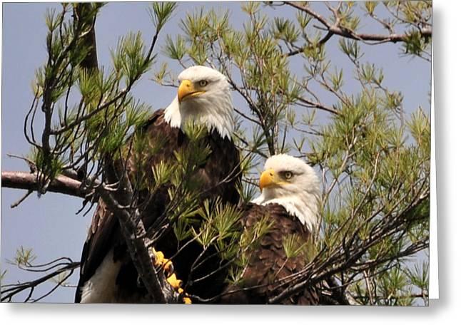 Bog River Eagles Close Up  Greeting Card