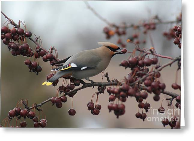 Bohemian Waxwing Greeting Card by Chris Hill