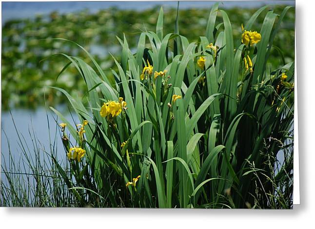 Bokeh Of Yellow Flag Water Iris Greeting Card