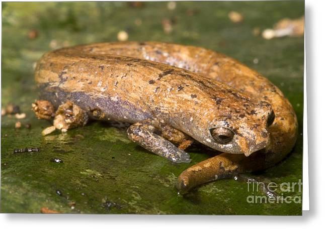 Bolitoglossine Salamander Greeting Card by Dante Fenolio