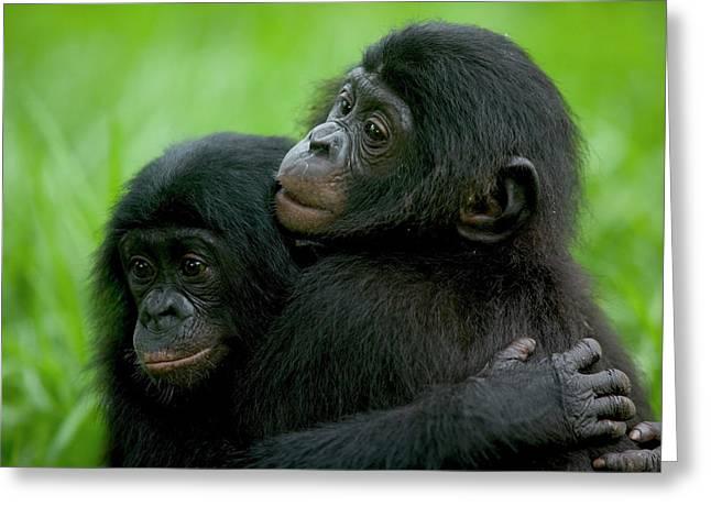 Bonobo Pan Paniscus Pair Of Orphans Greeting Card by Cyril Ruoso