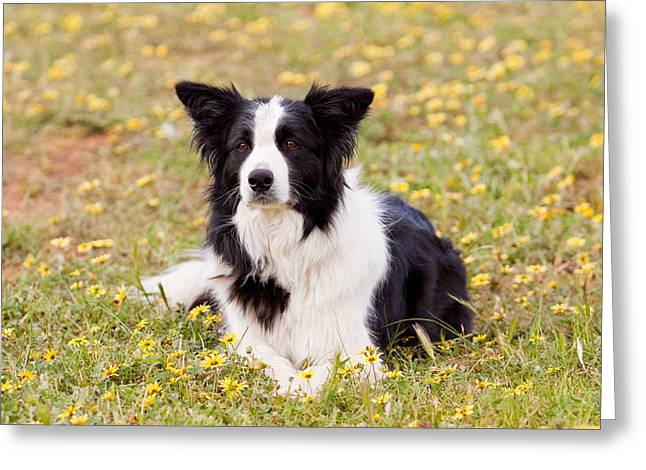 Border Collie In Field Of Yellow Flowers Greeting Card