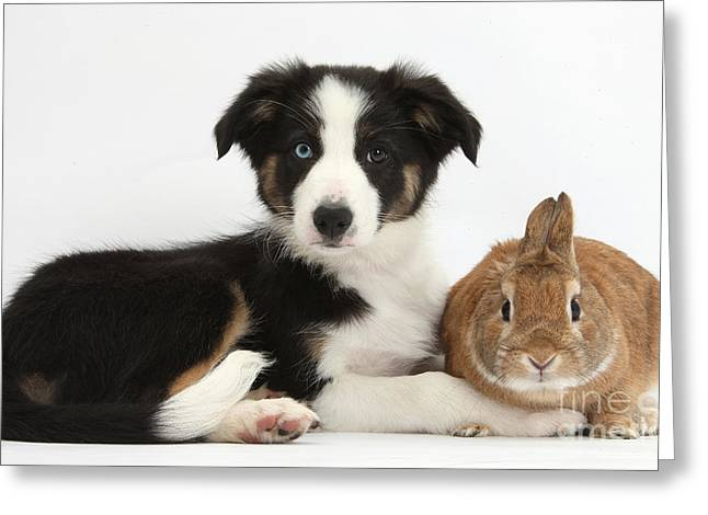 Border Collie Pup And Netherland-cross Greeting Card by Mark Taylor