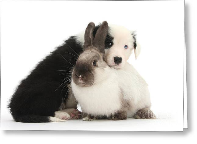 Border Collie Pup With Colorpoint Rabbit Greeting Card by Mark Taylor