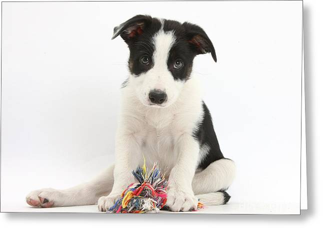 Border Collie Pup With Rag Toy Greeting Card