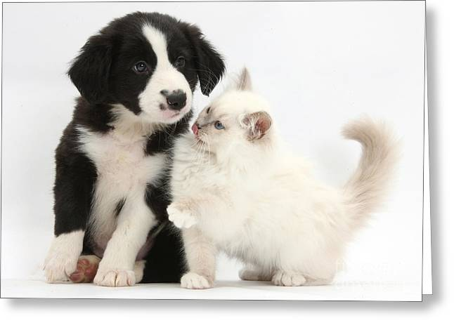 Border Collie Puppy And Colorpoint Greeting Card by Mark Taylor