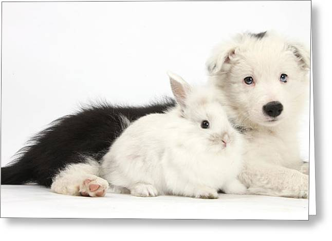 Border Collie Puppy With Baby Rabbit Greeting Card by Mark Taylor