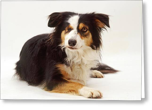 Border Collie With Missing Eye Greeting Card