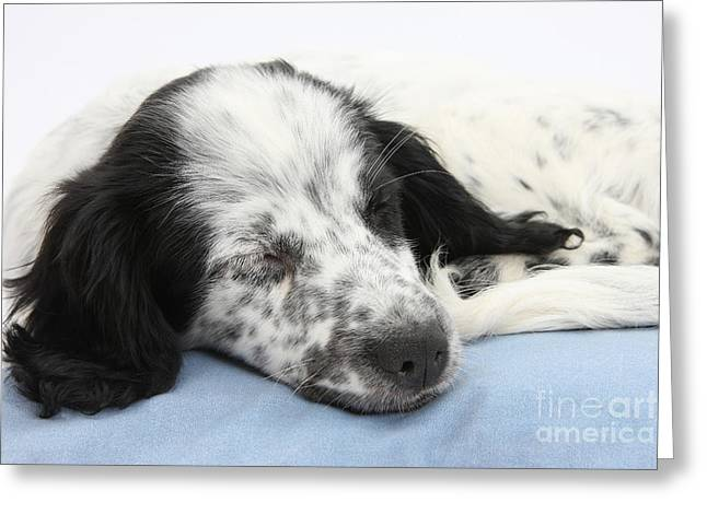 Border Collie X Cocker Sleeping Puppy Greeting Card by Mark Taylor