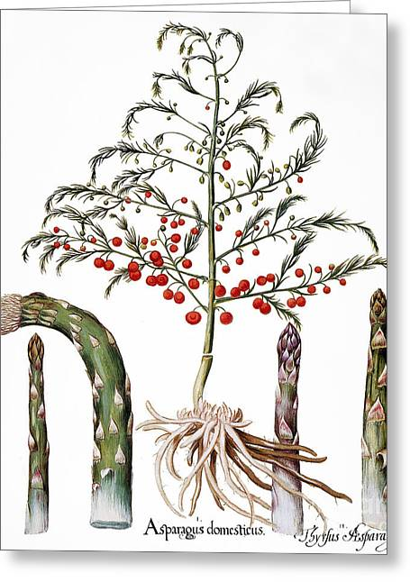 Botany: Asparagus, 1613 Greeting Card