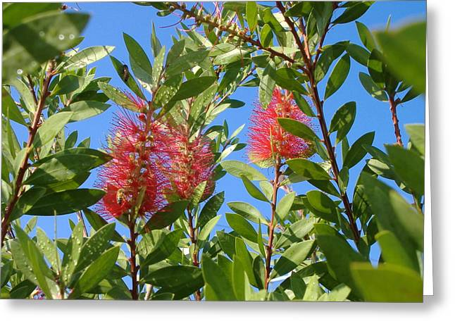Greeting Card featuring the photograph Bottle Brush by Diane Ferguson