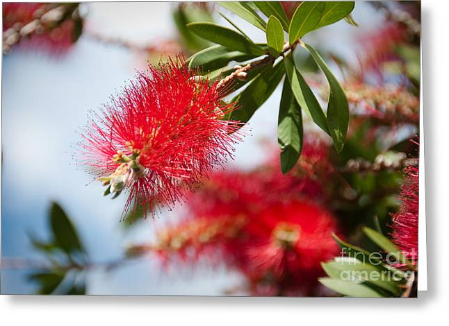 Bottle Brush Tree Greeting Card by Yurix Sardinelly