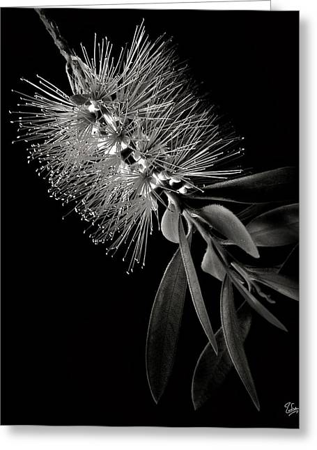 Bottlebrush In Black And White Greeting Card