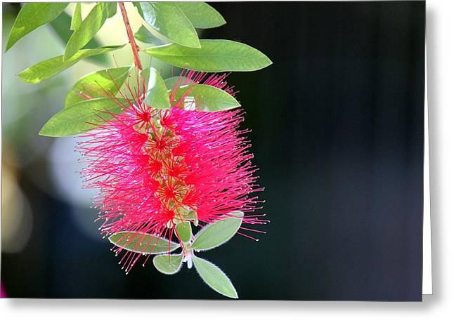 Bottlebrush Nectar Greeting Card