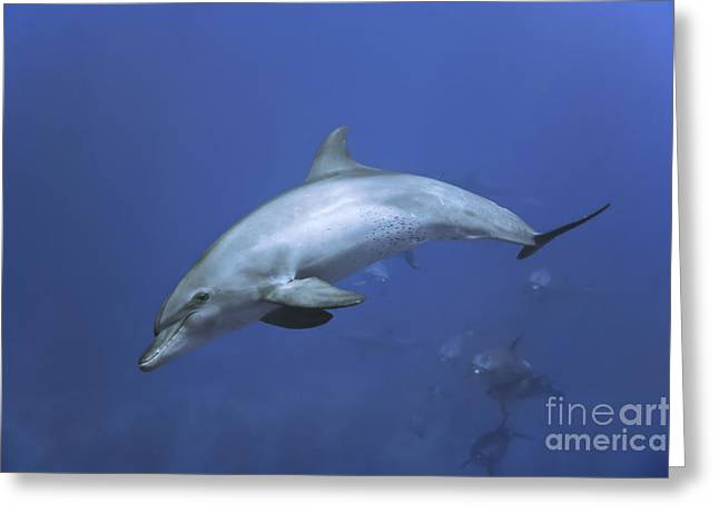 Bottlenose Dolphin Greeting Card by Tom Peled