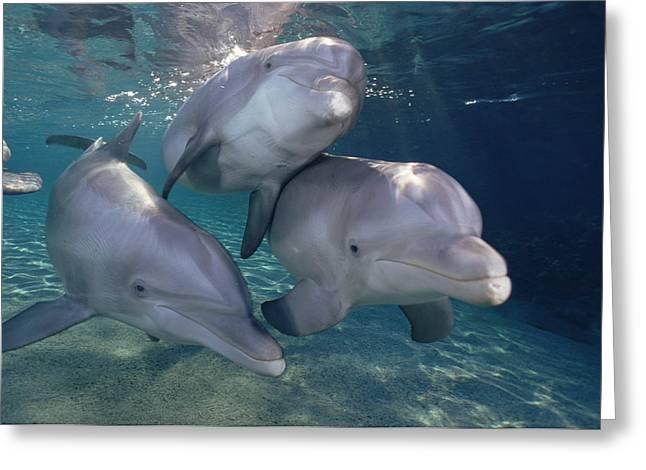 Bottlenose Dolphin Trio Hawaii Greeting Card