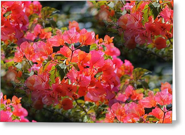 Bougainvillea 'alabama Sunset 1 Greeting Card