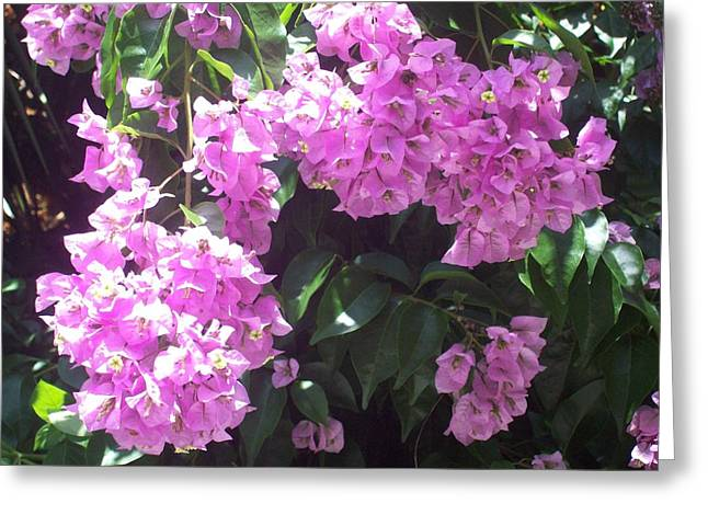 Bougainvillea Flowers  Greeting Card by Lisa Williams