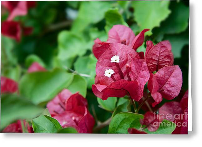 Bougainvillea San Diego Vibrant Red Flowers Closeup  Greeting Card by Sherry  Curry