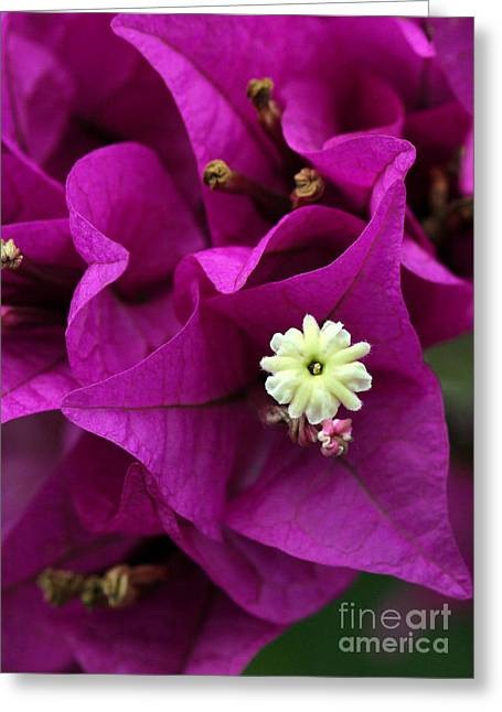 Bouganvillea Macro Greeting Card by Sabrina L Ryan