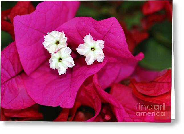 Bouganvillea Greeting Card by Sabrina L Ryan
