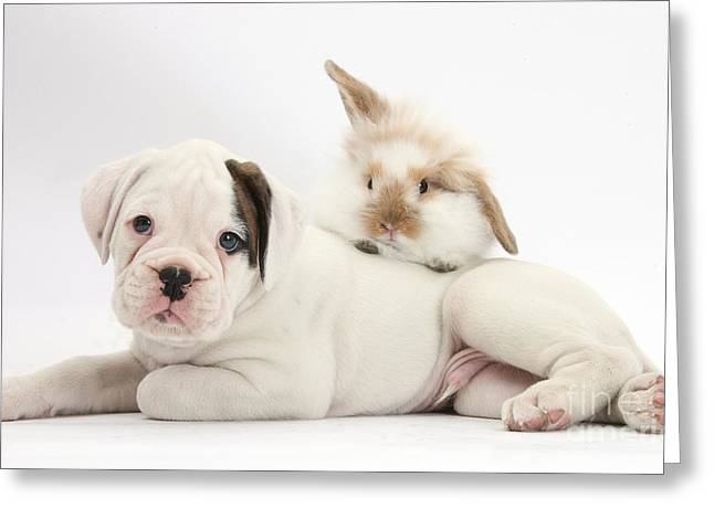 Boxer Puppy And Young Fluffy Rabbit Greeting Card by Mark Taylor