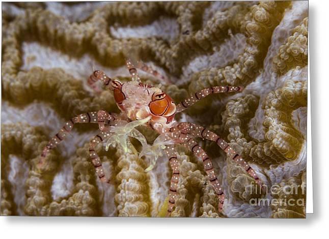 Boxing Crab In Raja Ampat, Indonesia Greeting Card by Todd Winner