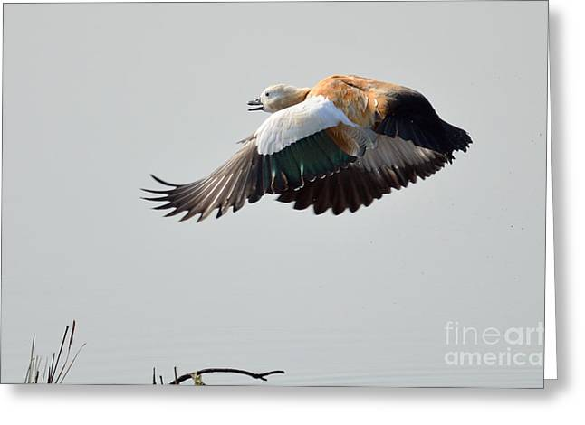 Brahminy Shelduck Greeting Card