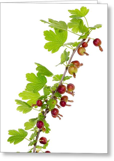 Branch Of Prickly Gooseberry Greeting Card by Aleksandr Volkov