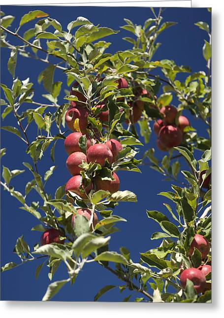 Branches Of An Apple Tree Greeting Card by Tim Laman