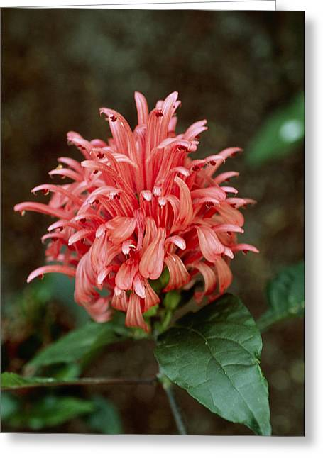Brazilian Plume (justicia Carnea) Greeting Card by Adrian Thomas