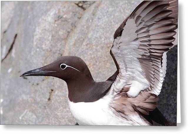 Bridled Guillemot Greeting Card by Bruce J Robinson
