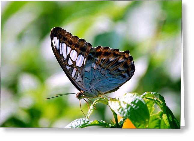Greeting Card featuring the photograph Bright Blue Butterfly by Peggy Franz