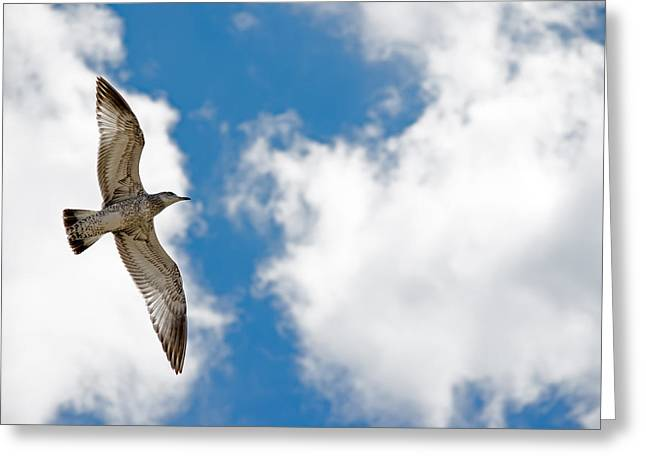 Bright Gull Greeting Card by Kelly Anderson
