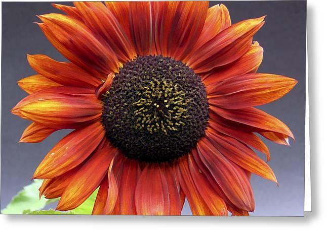 Bright Intense Sunflower Greeting Card by Joshua Miller