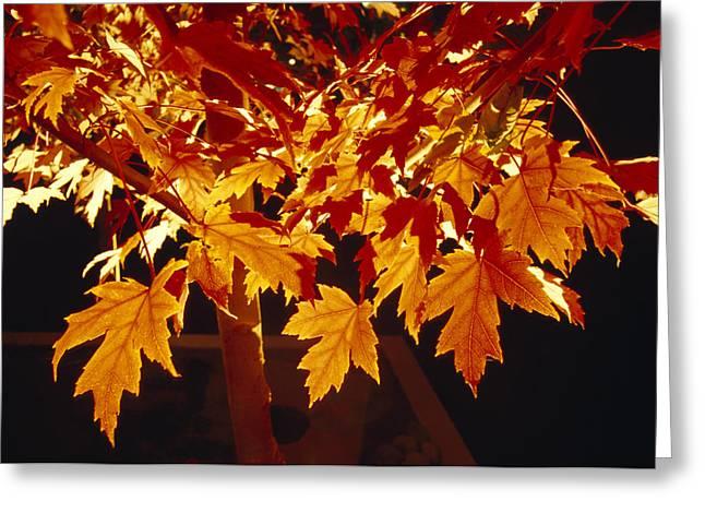 Bright Orange Maple Leaves Illuminated Greeting Card by Jason Edwards