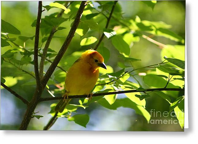 Bright Yellow Songbird Greeting Card by Christina A Pacillo