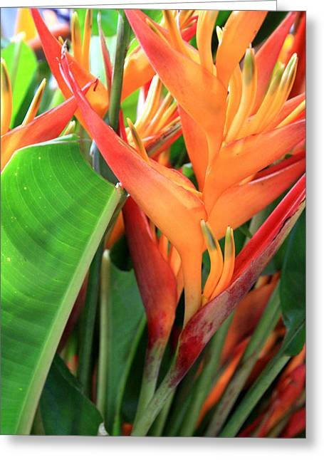 Brilliant Heliconia Greeting Card