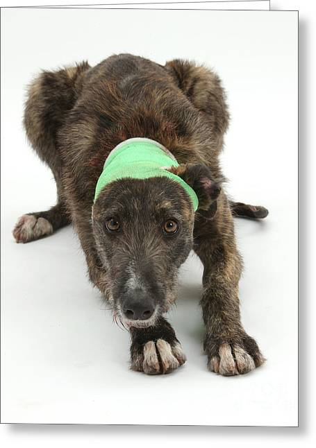Brindle Lurcher Wearing A Bandage Greeting Card by Mark Taylor