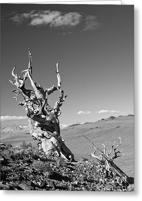 Bristlecone Pine And Cloud Greeting Card