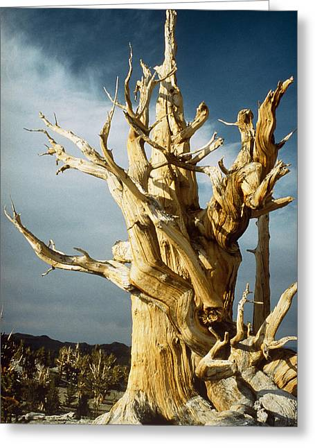 Bristlecone Pine Greeting Card by David Parker
