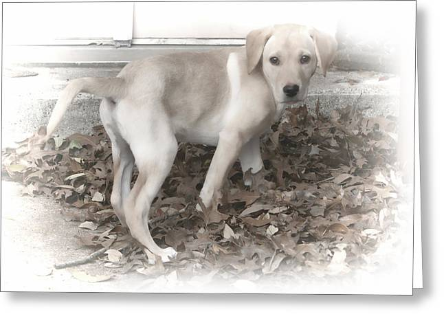 British Labrador In Natural Tones Greeting Card by Linda Phelps