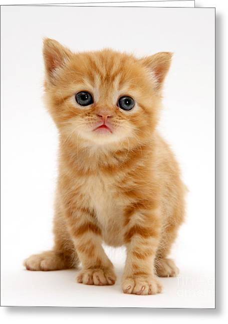 British Shorthair Red Tabby Kitten Greeting Card by Jane Burton