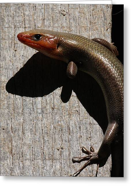 Broad-headed Skink On Barn  Greeting Card