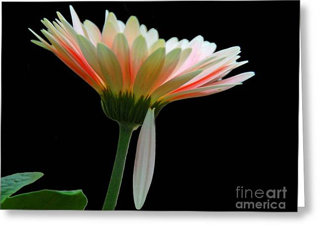 Greeting Card featuring the photograph Broken Daisy by Cindy Manero