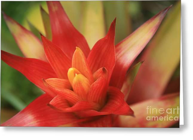 Bromeliad Greeting Card by Sharon Mau