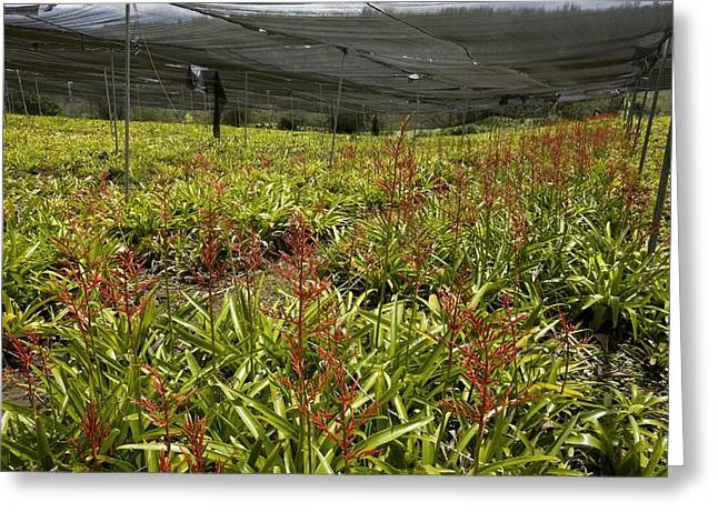 Bromeliads Being Cultivated Greeting Card