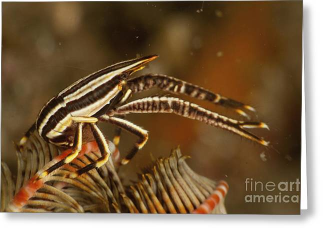 Brown And White Striped Crinoid Squat Greeting Card by Mathieu Meur